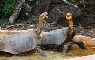The Horny Tortoise Who Saved His Species Is A Fraud