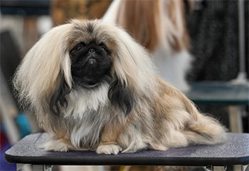6 Ways Breaking into Hollywood Is A Total Nightmare - a Pekingese dog