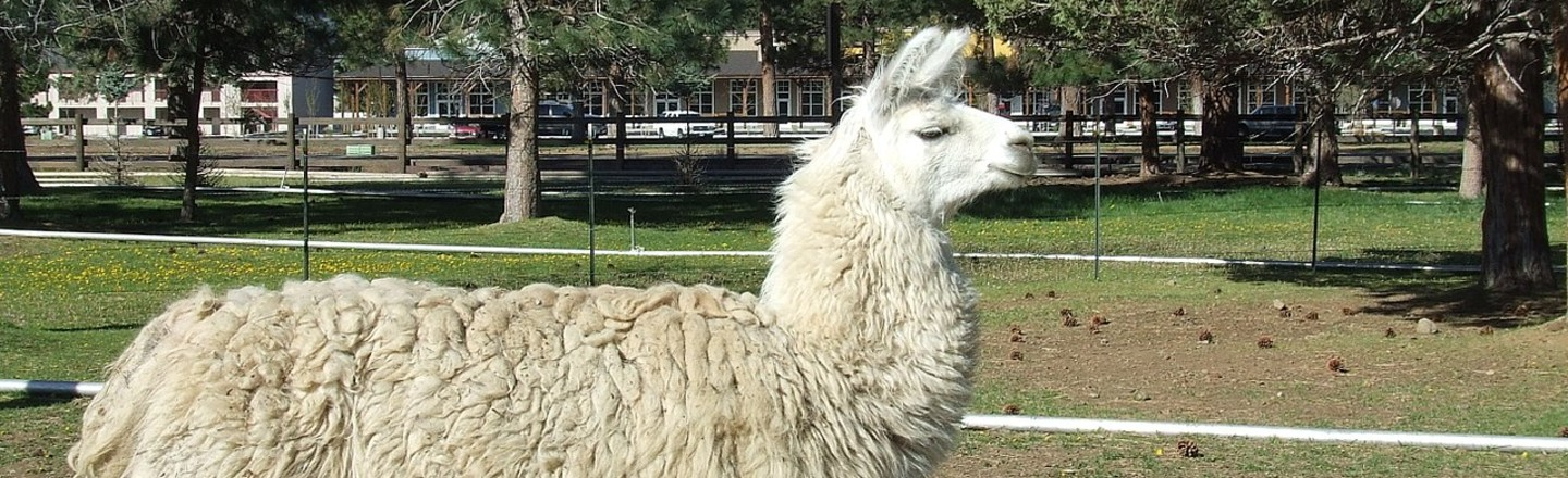 Why Christmas Llamas Are a Thing: Death and Puns