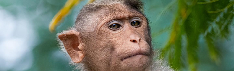 Most Badass Monkey Fighters In Japan Are Three Elderly Women