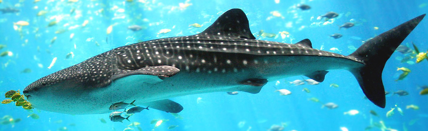 We Know How Old Whale Sharks Are Because Of Nukes