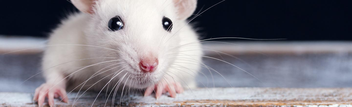 Rats Can Drive Now, Thanks To Froot Loops And Science