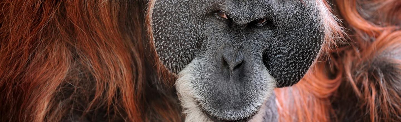 Creepy Fact: Orangutans Can Use 'Hitmen'