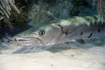 Although some important clues may be gleaned from barracuda poop.