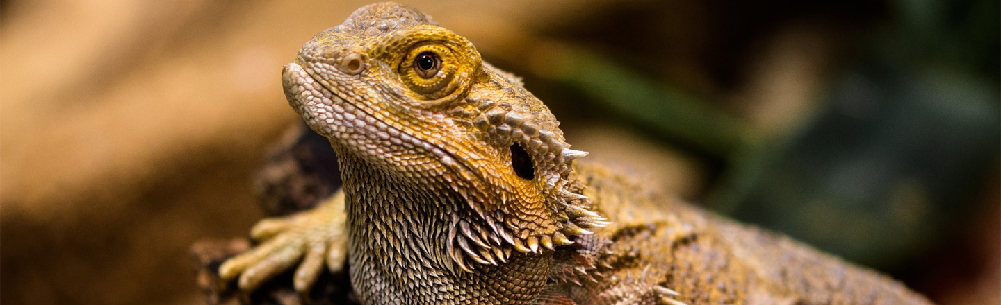 Pizza-Fueled Lizard Broke The Constipation Record, RIP