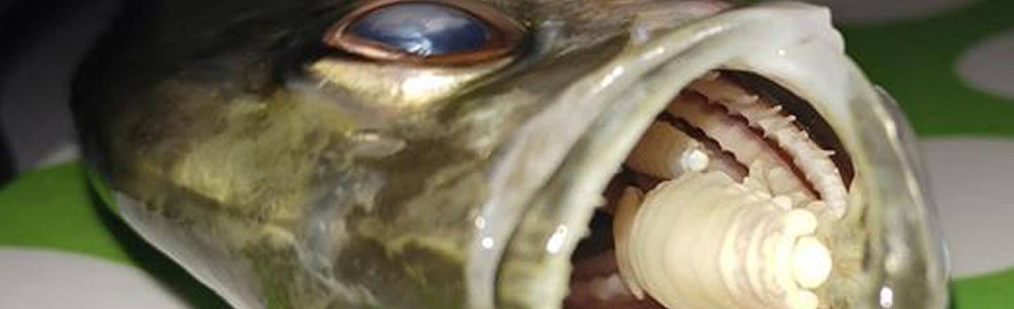 The Vampire Parasite That Replaces A Fish's Tongue