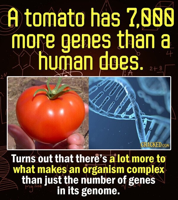 A tomato has 00 more genes than a human does. 4 2+8 LlE CRACKED COM Turns out that there's a lot more to what makes an organism complex than just the number of genes hgso in its genome.