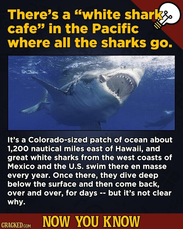 There's a white shark cafe in the Pacific where all the sharks go. It's a Colorado-sized patch of ocean about 200 nautical miles east of Hawaii, and great white sharks from the west coasts of Mexico and the U.S. swim there en masse every year. Once there, they dive deep
