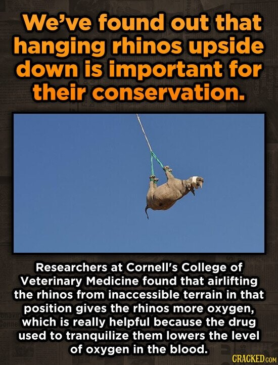 We've found out that hanging rhinos upside down is important for their conservation. Researchers at Cornell's College of Veterinary Medicine found that airlifting the rhinos from inaccessible terrain in that position gives the rhinos more oxygen, which is really helpful because the drug used to tranquilize them lowers the level