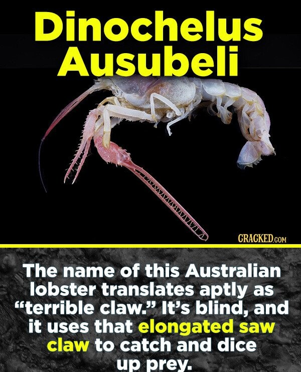 Dinochelus Ausubeli CRACKED .COM The name of this Australian lobster translates aptly as terrible claw. It's blind, and it uses that elongated saw claw to catch and dice up prey.