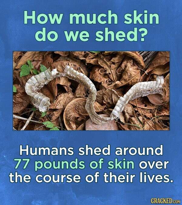 How much skin do we shed? Humans shed around 77 pounds of skin over the course of their lives. CRACKED COM
