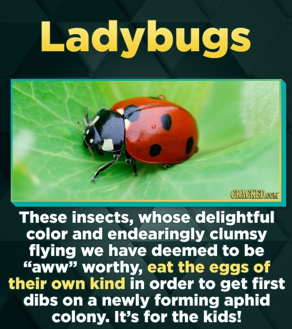 Ladybugs CRACKEDCONT These insects, whose delightful color and endearingly clumsy flying we have deemed to be aww' worthy, eat the eggs of their own