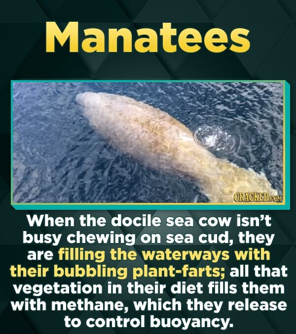 Manatees CRACKEDCON When the docile sea Cow isn't busy chewing on sea cud, they are filling the waterways with their bubbling plant-farts; all that ve