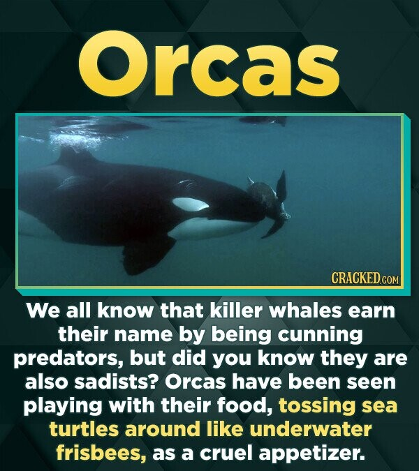 Orcas CRACKEDco We all know that killer whales earn their name by being cunning predators, but did you know they are also sadists? Orcas have been see