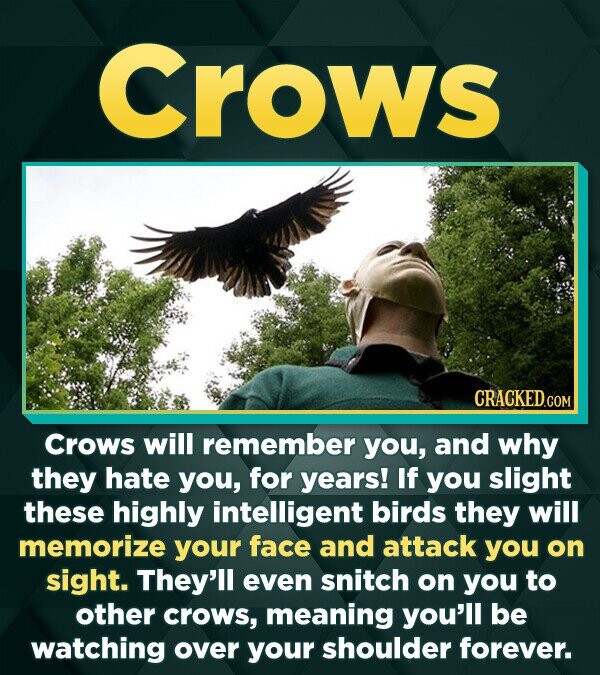 Crows CRACKEDCOR Crows will remember you, and why they hate you, for years! If you slight these highly intelligent birds they will memorize your face