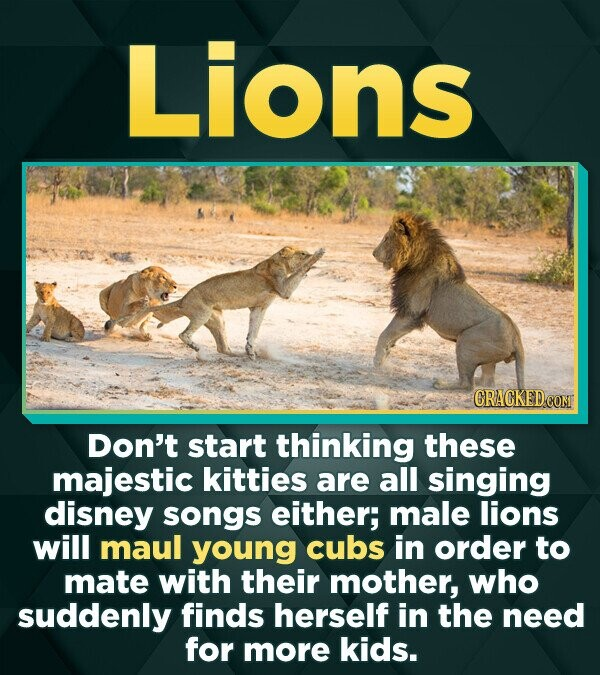 Lions CRACKEDCON Don't start thinking these majestic kitties are all singing disney songs either; male lions will maul young cubs in order to mate wit