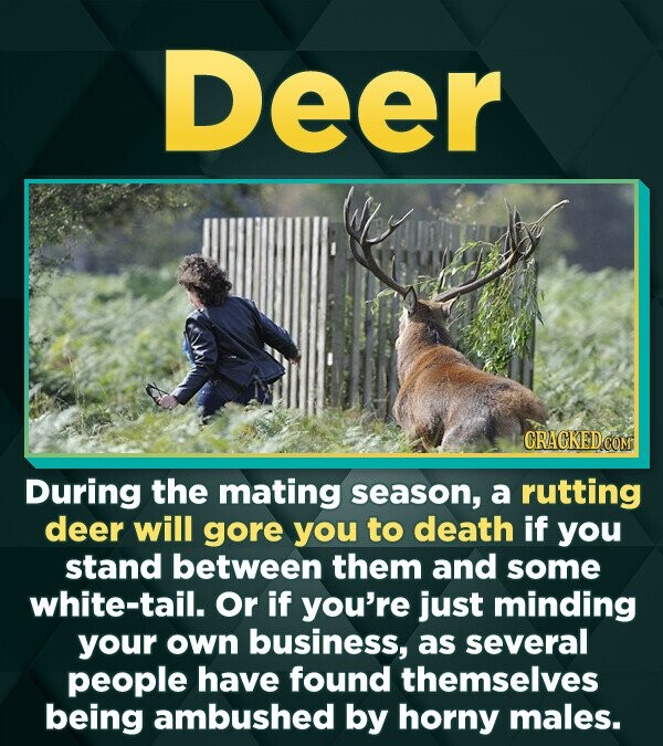 Deer During the mating season, a rutting deer will gore you to death if you stand between them and some white-tail. Or if you're just minding your own