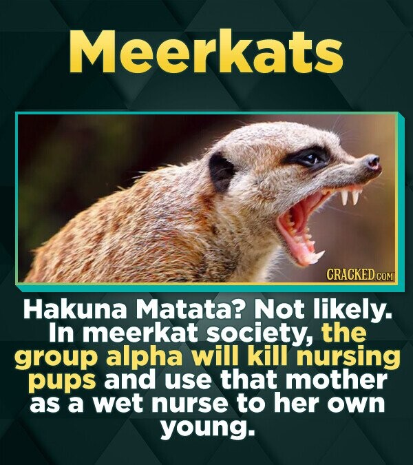 Meerkats CRACKED co Hakuna Matata? Not likely. In meerkat society, the group alpha will kill nursing pups and use that mother as a wet nurse to her ow