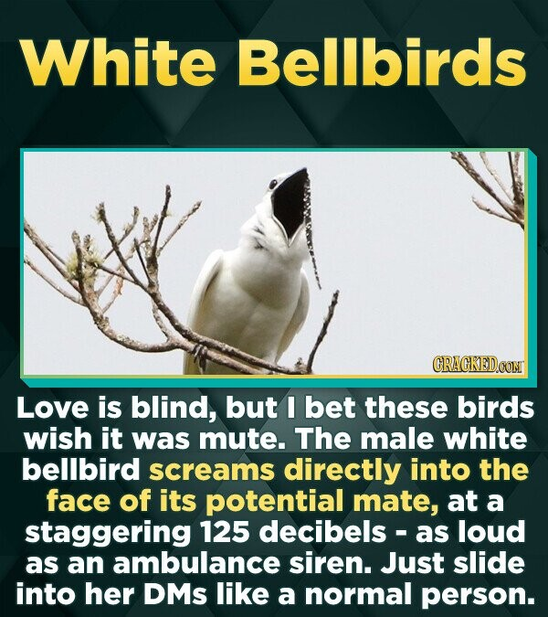 White Bellbirds CRACKEDCONT Love is blind, but I bet these birds wish it was mute. The male white bellbird screams directly into the face of its poten