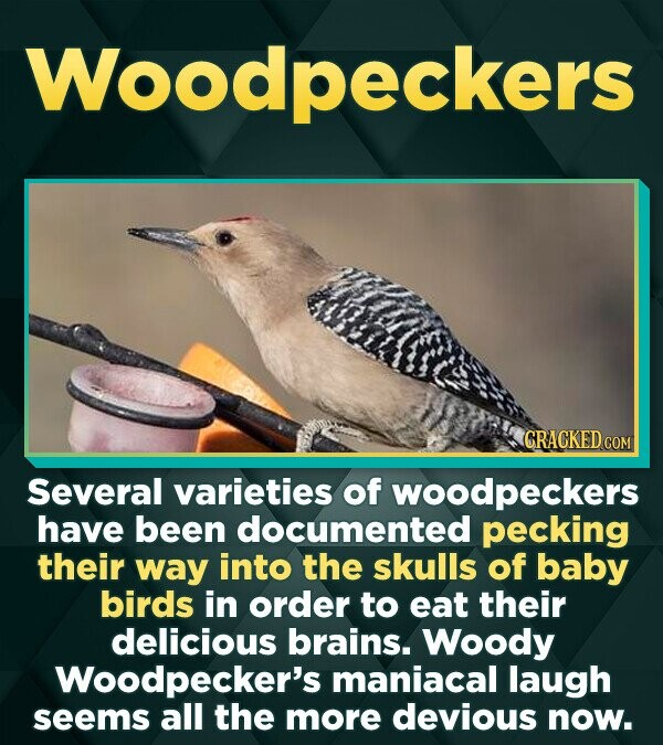 Woodpeckers CRACKED CON Several varieties of woodpeckers have been documented pecking their way into the skulls of baby birds in order to eat their de
