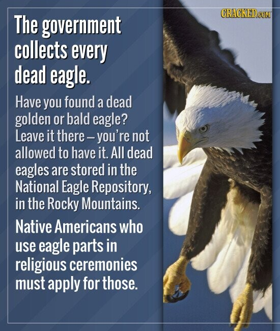 The government collects every dead eagle. Have you found a dead golden or bald eagle? Leave it there. -you're not allowed to have it. All dea