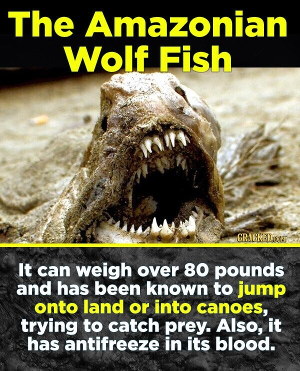 The Amazonian Wolf Fish CRACKEDCOR It can weigh over 80 pounds and has been known to jump onto land or into canoes, trying to catch prey. Also, it has antifreeze in its blood.