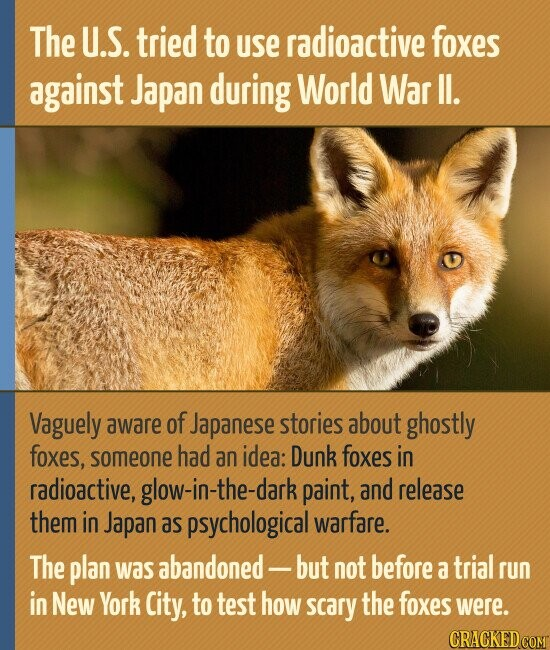 The U.S. tried to uSe radioactive foxes against Japan during World War II. Vaguely aware of Japanese stories about ghostly foxes, someone had an idea: Dunk foxes in radioactive, glow-in-the-dark paint, and release them in Japan as psychological warfare. The plan was abandoned - -but not before a trial run in