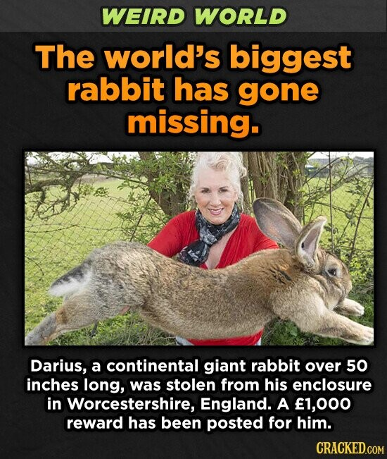WEIRD WORLD The world's biggest rabbit has gone missing. Darius, a continental giant rabbit over 50 inches long, was stolen from his enclosure in Worcestershire, England. A f1,000 reward has been posted for him.