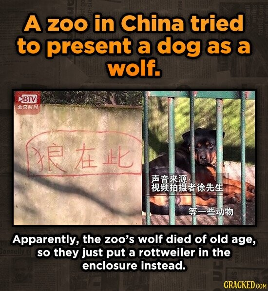 A ZOO in China tried to present a dog as a wolf. BTV Ssh JEAILL Ri I Apparently, the zoo's wolf died of old age, so they just put a rottweiler in the enclosure instead.