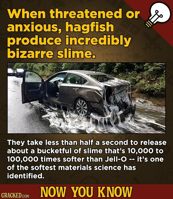When threatened or anxious, hagfish produce incredibly bizarre slime. They take less than half a second to release about a bucketful of slime that's 10,000 to 100,00 times softer than Jell-O-- it's one of the softest materials science has identified. NOW YOU KNOW