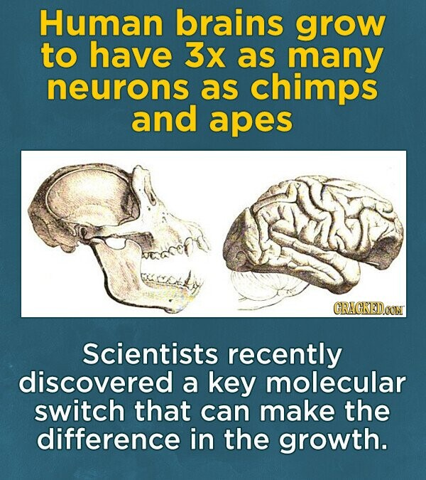 Human brains grow to have 3x as many neurons as chimps and apes CRACKEDOON Scientists recently discovered a key molecular switch that can make the difference in the growth.