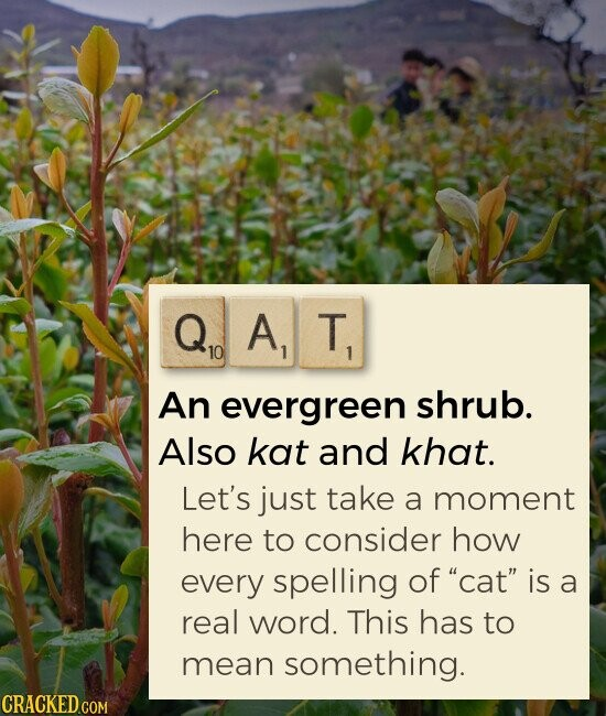 QAT An evergreen shrub. Also kat and khat. Let's just take a moment here to consider how every spelling of cat is a real word. This has to mean something.