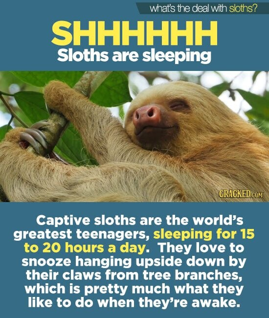 what's the deal with sloths? SHHHHHH Sloths are sleeping CRACKED COM Captive sloths are the world's greatest teenagers, sleeping for 15 to 20 hours a day. They love to snooze hanging upside down by their claws from tree branches, which is pretty much what they like to do when they're awake.