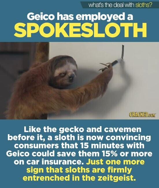what's the deal with sloths? Geico has employed a SPOKESLOTH Like the gecko and cavemen before it, a sloth is now convincing consumers that 15 minutes with Geico could save them 15% or more on car insurance. Just one more sign that sloths are firmly entrenched in the zeitgeist.