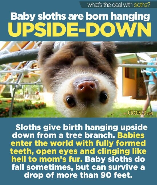 what's the deal with sloths? Baby sloths are born hanging UPSIDE-DOWN CRACKEDcO Sloths give birth hanging upside down from a tree branch. Babies enter the world with fully formed teeth, open eyes and clinging like hell to mom's fur. Baby sloths do fall sometimes, but can survive a drop of