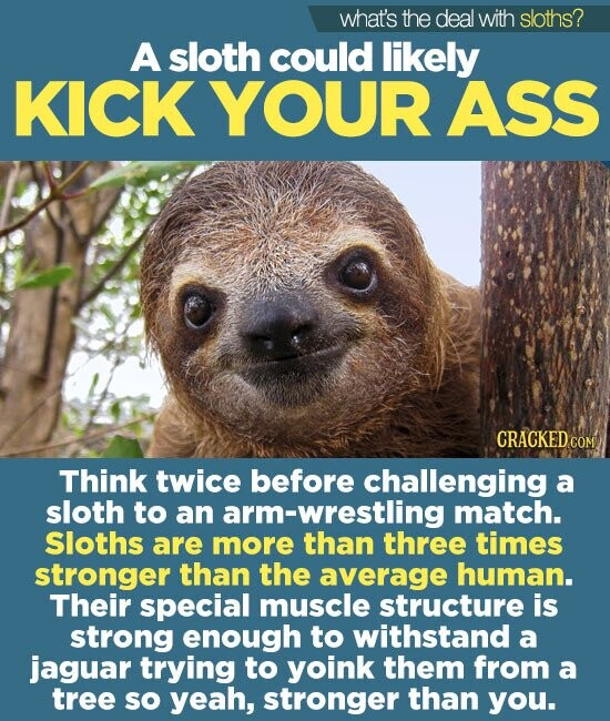 what's the deal with sloths? A sloth could likely KICK YOUR ASS Think twice before challenging a sloth to an arm-wrestling match. Sloths are more than three times stronger than the average human. Their special muscle structure is strong enough to withstand a jaguar trying to yoink them from