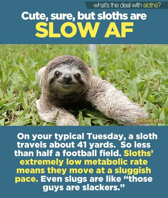 what's the deal with sloths? Cute, sure, but sloths are SLOW AF CRACKED COM On your typical Tuesday, a sloth travels about 41 yards. So less than half a football field. Sloths' extremely low metabolic rate means they move at a sluggish pace. Even slugs are like those guys are slackers.