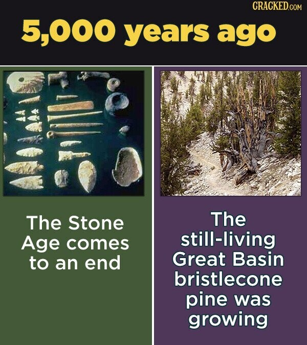 CRACKED.COM 5,000 years ago The Stone The Age still-living comes to end Great Basin an bristlecone pine was growing