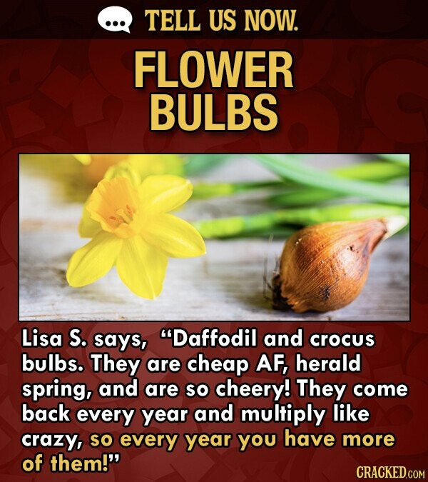 TELL US NOW. FLOWER BULBS Lisa S. says, Daffodil and crocus bulbs. They are cheap AF, herald spring, and are so cheery! They come back every year and multiply like crazy, so every year you have more of them!