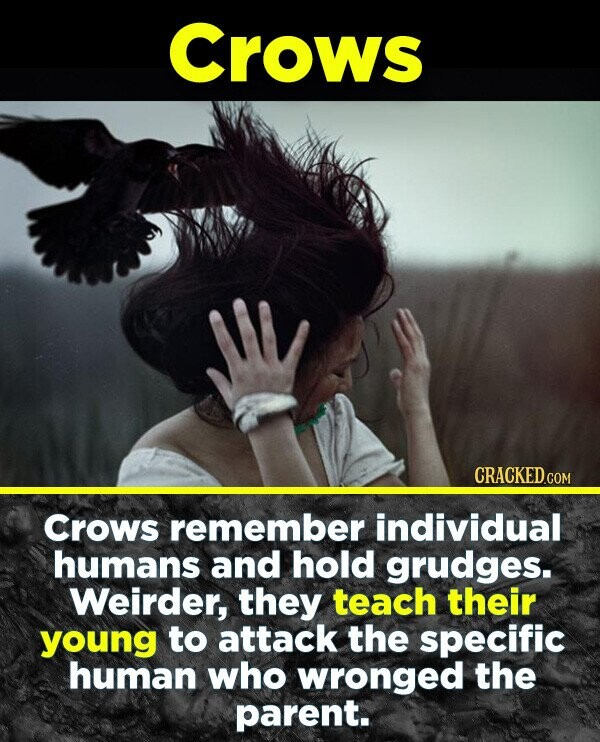 Crows CRACKEDo COM Crows remember individual humans and hold grudges. Weirder, they teach their young to attack the specific human who wronged the parent.