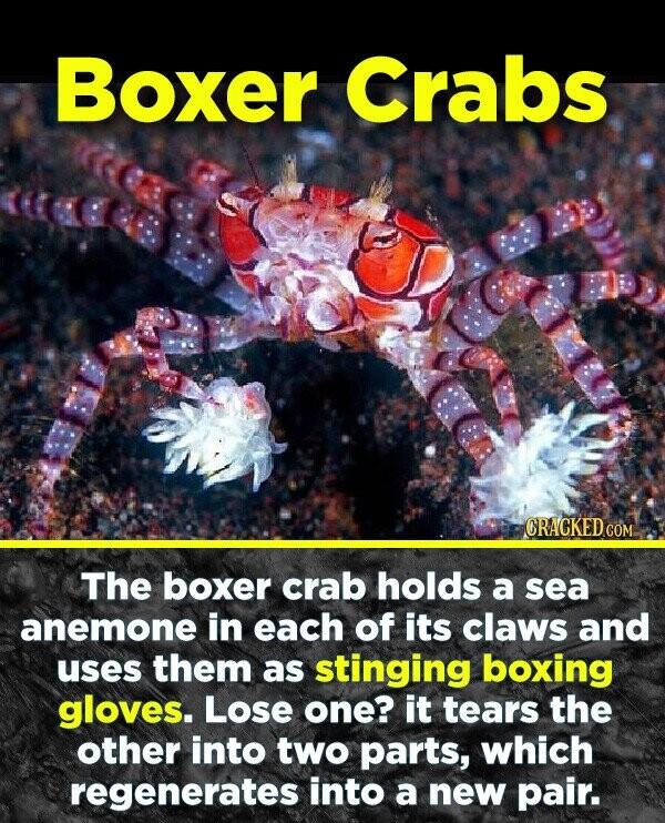 Boxer Crabs CRACKED COM The boxer crab holds a sea anemone in each of its claws and uses them as stinging boxing gloves. Lose one? it tears the other into two parts, which regenerates into a new pair.