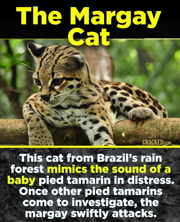 The Margay Cat CRACKED COM This cat from Brazil's rain forest mimics the sound of a baby pied tamarin in distress. once other pied tamarins come to investigate, the margay swiftly attacks.