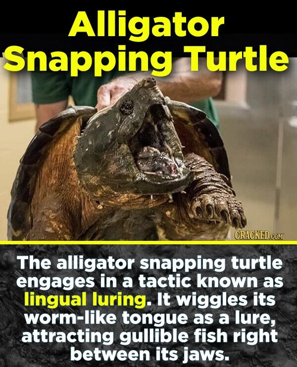 Alligator Snapping Turtle CRACKEDCOR The alligator snapping turtle engages in a tactic known as lingual luring. It wiggles its worm-like tongue as a lure, attracting gullible fish right between its jaws.