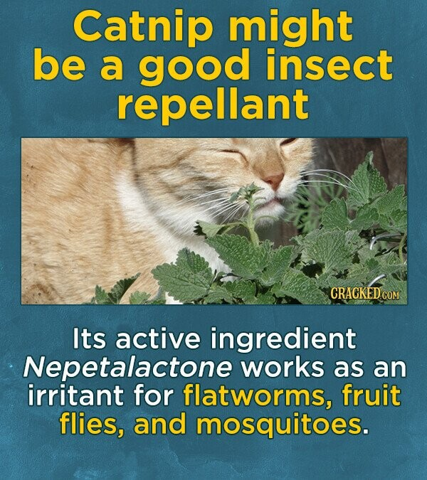 Catnip might be a good insect repellant Its active ingredient Nepetalactone works as an irritant for flatworms, fruit flies, and mosquitoes.