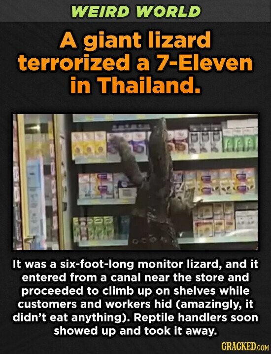 WEIRD WORLD A giant lizard terrorized a 7-Eleven in Thailand. It was a six-foot-long monitor lizard, and it entered from a canal near the store and proceeded to climb up on shelves while customers and workers hid (amazingly, it didn't eat anything). Reptile handlers soon showed up and took it