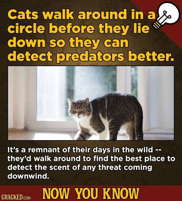 Cats walk around in a circle before they lie down SO they can detect predators better. It's a remnant of their days in the wild -- they'd walk around to find the best place to detect the scent of any threat coming downwind. NOW YOU KNOW