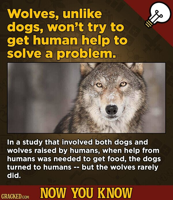 Wolves, unlike dogs, won't try to get human help to solve a problem. In a study that involved both dogs and wolves raised by humans, when help from humans was needed to get food, the dogs turned to humans - but the wolves rarely did. NOW YOU KNOW CRACKED.COM
