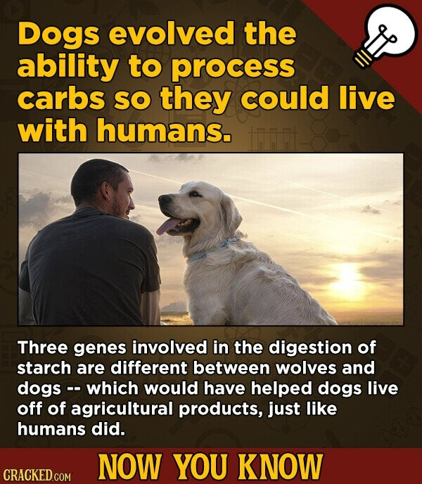 Dogs evolved the ability to process carbs SO they could live with humans. Three genes involved in the digestion of starch are different between wolves and dogs -- which would have helped dogs live off of agricultural products, just like humans did. NOW YOU KNOW CRACKED.COM