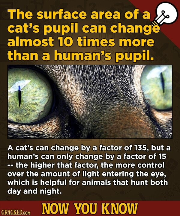 The surface area of a cat's pupil can change almost 10 times more than a human's pupil. A cat's can change by a factor of 135, but a human's can only change by a factor of 15 -- the higher that factor, the more control over the amount of light entering