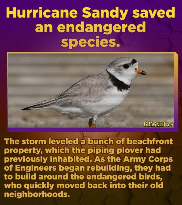 Hurricane Sandy saved an endangered species. CRACKED.COM The storm leveled a bunch of beachfront property, which the piping plover had previously inhabited. AS the Army Corps of Engineers began rebuilding, they had to build around the endangered birds, who quickly moved back into their old neighborhoods.